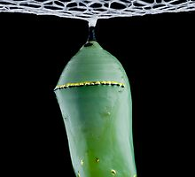 monarch butterfly chrysalis 1 by jude walton