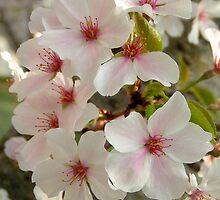 Beautiful Blossom by Glenn Grossman