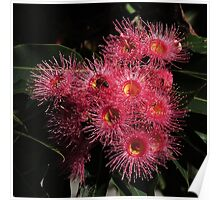Native Gum Flowers Poster