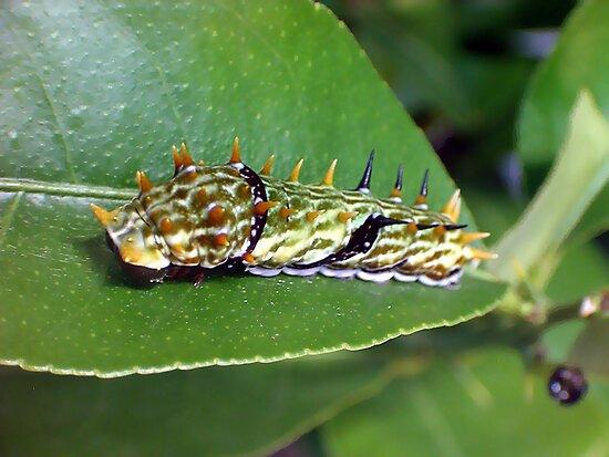 Spike the Caterpillar by Steve Blake : - Akuna Photography Bendigo