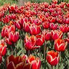 Tulips Galore by Elaine Teague