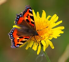 The Small Tortoiseshell........... by jdmphotography