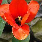 Tulip by tkrosevear