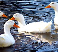 White Ducks by Steve Keefer