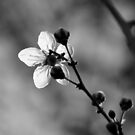 Blossom in Black & White by Kitsmumma