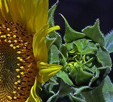 Sunflower and  Bud Macro by Judson Joyce