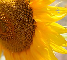 Sunflower by carlacarlacarla