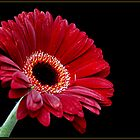 Gerbera by lisa1970