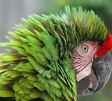 Military Macaw by Gotcha  Photography