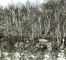 Young Silver Birches by Jeannette Sheehy
