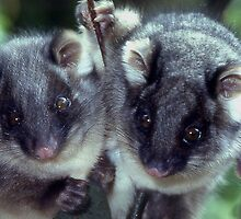 Twin ringtail possums by Peter  Tonelli