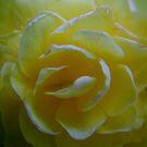 Double Blossom Begonia by Lolabud