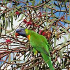 Rainbow Lorikeet by Pam Wilkie