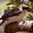 Kookaburra by MiImages