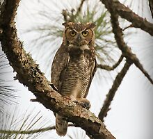 Great Horned Owl by Phillip  Simmons