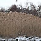 Tall Winter Grass, Liberty State Park, New Jersey by lenspiro