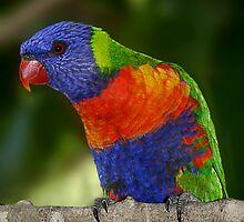 Rainbow Lorikeet by Damienne Bingham