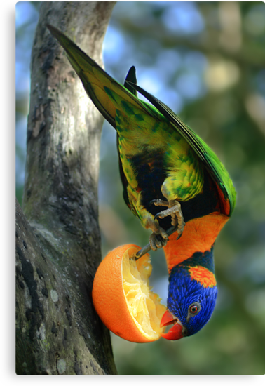 Rainbow Lorikeet II [Print & iPad Case] by Damienne Bingham