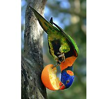 Rainbow Lorikeet II [Print & iPad Case] Photographic Print