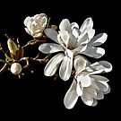 Magnolia Stellata [ Star Magnolia ] by Steven  Agius