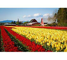 Tulip Fest Photographic Print