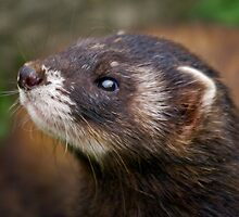 Polecat by Krys Bailey