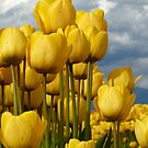 Yellow wonders by SylviaCook