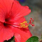 Red Hibiscus by Kristin Nichole Hamm
