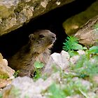 Cute Marmot by Sylvain Girard