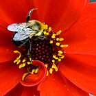 Bishop of Llandaff Dahlia & Bee by jenndes