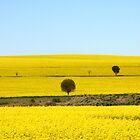 Fields of Yellow by trekka