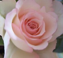 Palest pink rose by secretbutterfly