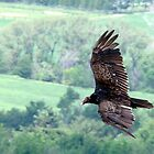 Turkey Vulture by Gotcha  Photography