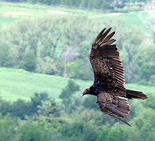 Turkey Vulture by Wabacreek Photography