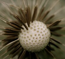 dandelion seeds  by EdMc