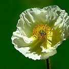 Icelandic Poppy by Stephie Butler