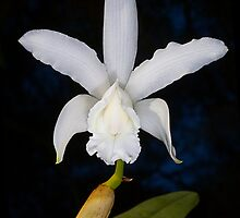 White Cattleya by Richard  Windeyer