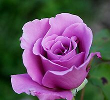 Purple Rose by Cheri Perry