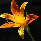 Sunny Day Lily by NatureGreeting Cards ccwri