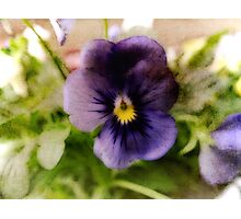 Painted pansy Photographic Print