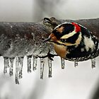 Downy Woodpecker hanging on icy branch by Bine