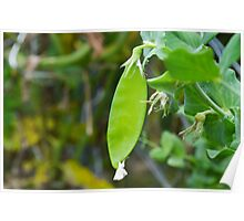 Spring Pea  Poster