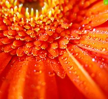 Gerbera on fire by Rosy Kueng