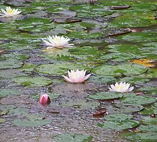 Lilly Pond by A Bewley