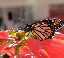 Beautiful Monarch Butterfly by Jan  Wall