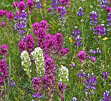Lupines and Clovers by John Butler