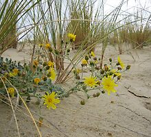 Wild flowers in the dune by dolphin