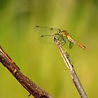Dragonfly by Martins Blumbergs