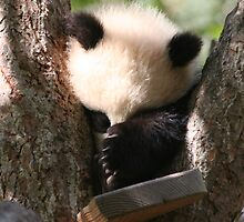Baby Panda by Bree Ammerman