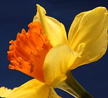 Daffodil by margotk